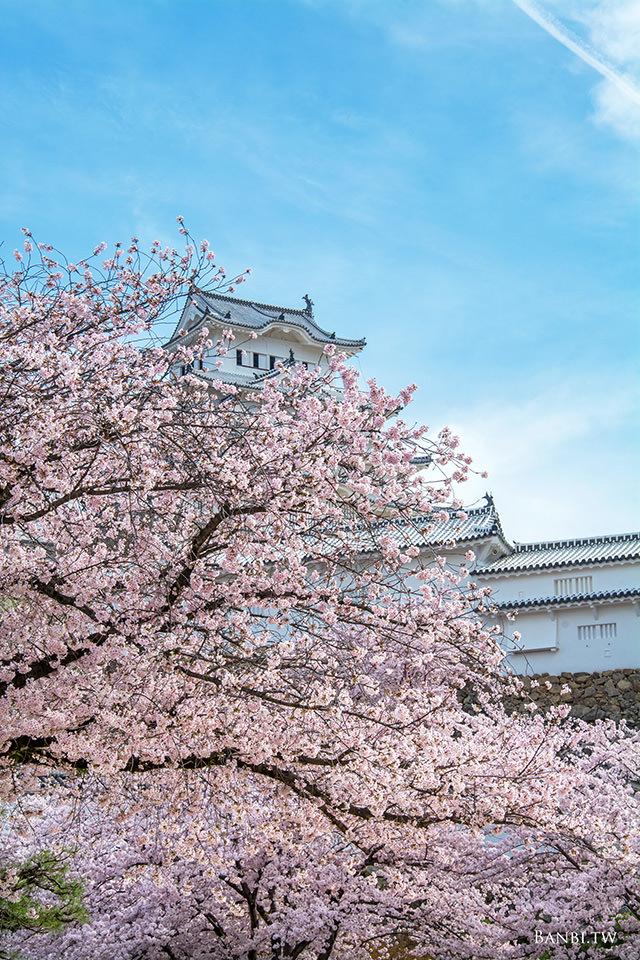 姬路城1千株粉紅櫻花海 美麗的白色日本國寶 關西賞櫻景點(交通門票資訊